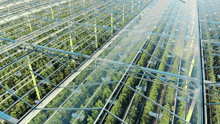 Green plantations shot through the transparent ceiling. Greenhouses aerial view, epic view on industrial glasshouse. Zdjęcie Seryjne - 144037502