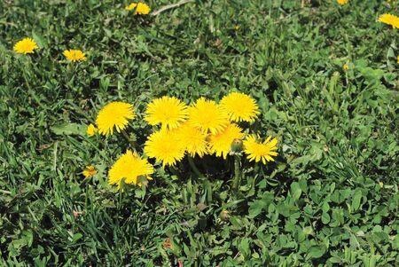 untitled key: coltsfoot bloom  on green background , Tussilago farfara Stock Photo