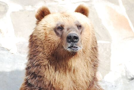 The brown bear close up, wild life  Stock Photo - 14108981