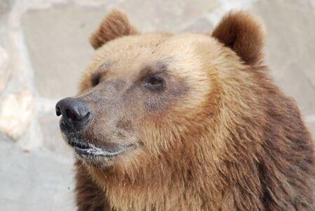 The brown bear close up, wild life Stock Photo - 14108989
