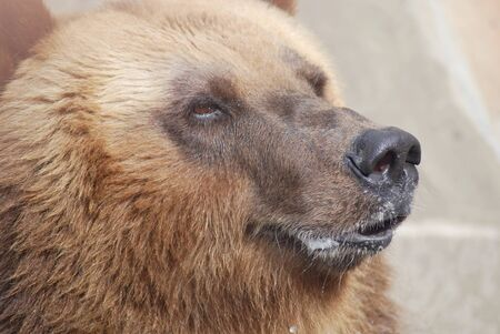 The brown bear close up, wild life  Stock Photo - 14109007