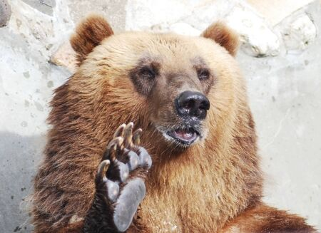The brown bear welcomes with a paw Stock Photo - 14108979