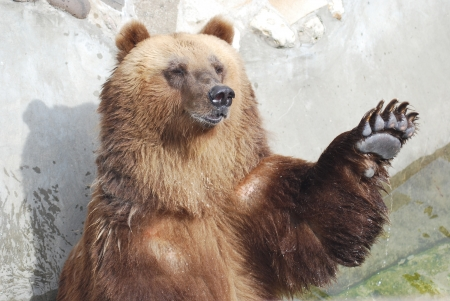 The brown bear welcomes with a paw Stock Photo - 14109010