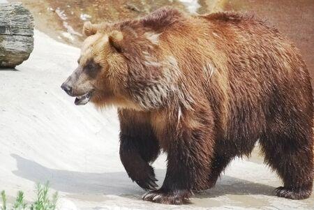 The brown bear close up, wild life  Stock Photo - 14109018