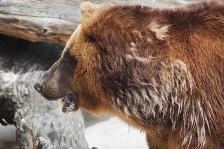 The brown bear close up, wild life Stock Photo - 14109006