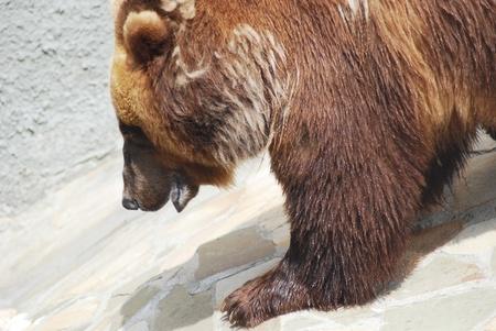 The brown bear close up, wild life  Stock Photo - 14109008