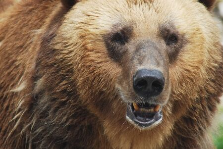 The brown bear close up, wild life  Stock Photo - 14109014