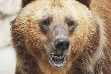 The brown bear close up, wild life  Stock Photo - 14109013