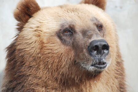 The brown bear close up, wild life  photo