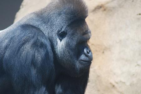 hairy closeup: close-up of a big black hairy gorilla