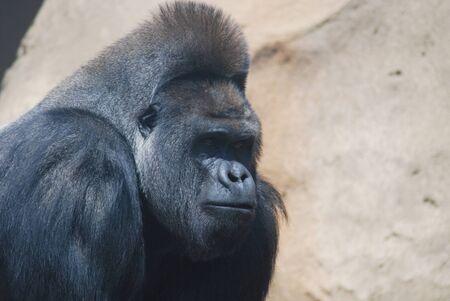 close-up of a big black hairy gorilla  photo