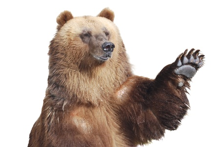 The brown bear welcomes with a paw isolated on white 写真素材
