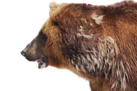 The brown bear close up isolated on white, wild life Stock Photo - 14468955