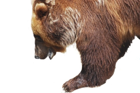 The brown bear close up isolated on white, wild life Stock Photo - 14468939