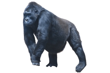 close up of a big black hairy gorilla isolated on white
