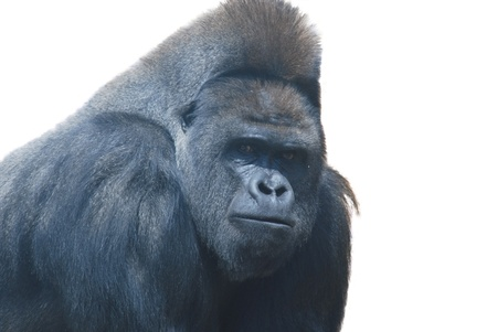 silverback: close up of a big black hairy gorilla isolated on white