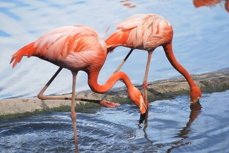 couple  of a beautiful pink flamingo, two tropical bird photo