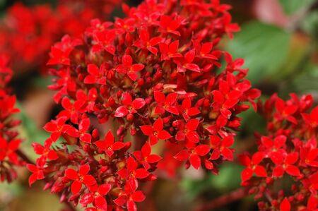 Ixora coccinea, Jungle Geranium