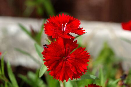 Perennial dianthus, of the family Caryophyllaceae.