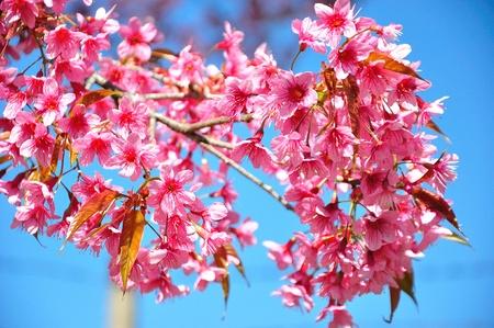 Sakura flower blooming in mountain , ChiangMai Thailand