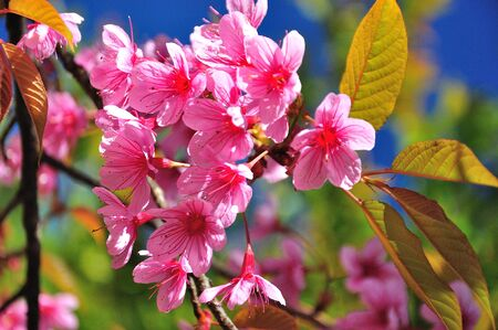 Sakura flower blooming in mountain , ChiangMai Thailand   photo
