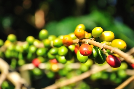 grano de cafe: café en cereza Foto de archivo