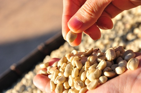 coffee harvest: Raw coffee beans Stock Photo