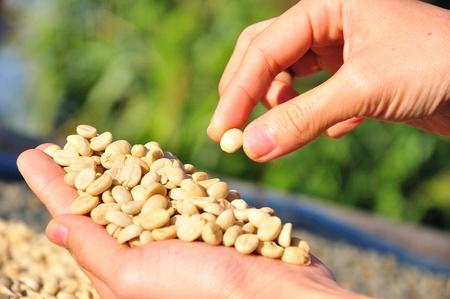 arbol de cafe: Granos de caf� crudos