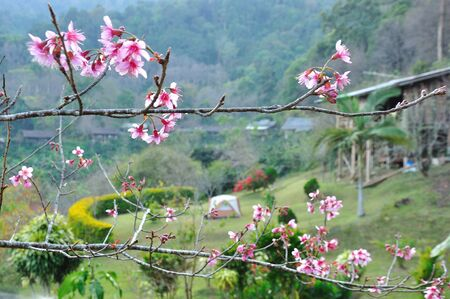 akura flower blooming in mountain with camping , ChiangMai Thailand