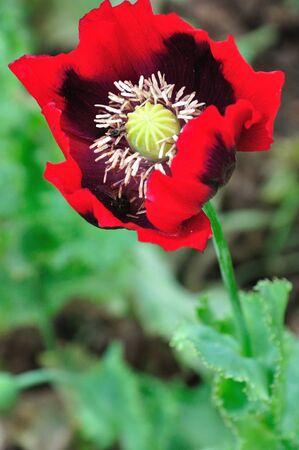 Wild red poppies in garden