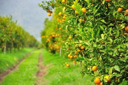 israel agriculture: Orange tree