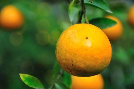 Orange tree clsoe-up Stock Photo