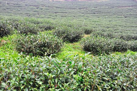 Tea tree being grown in the plantation  Stock Photo