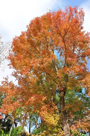 Beautiful maple tree blazes with its bright