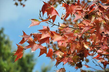 Maple foliage against sky, autumn