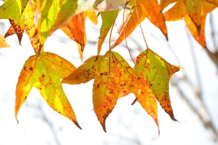 blazes: Beautiful maple tree blazes with its bright