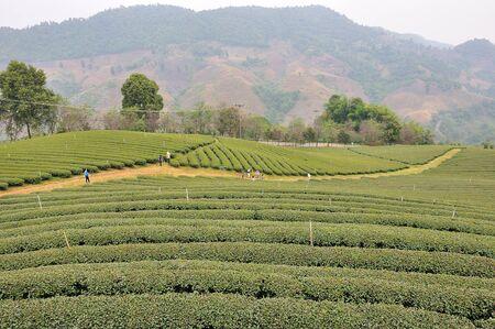 Full of tea trees on hill, asia