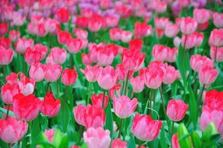 Pink beautiful tulips field Stock Photo