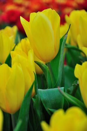Yellow beautiful tulips field