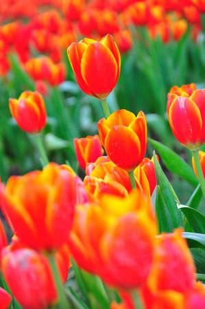 Red beautiful tulips field Stock Photo