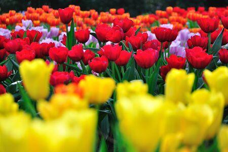 Red,Yellow and Orange beautiful tulips field Stock Photo