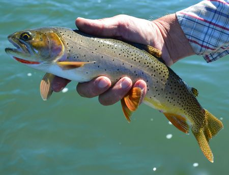 yellowstone: Yellowstone Cutthroat on Yellowstone River while Fly-fishing Stock Photo