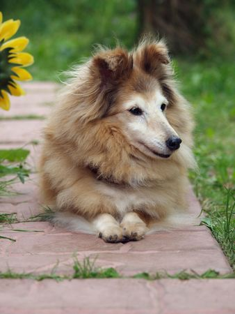 Portrait of sable and white sheltie with nice head laying on rose brick road between green grass.