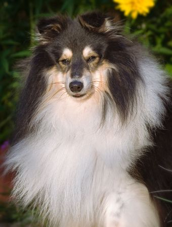 Portrait of Shetland Sheepdog, looking with dignity and sweet expression.