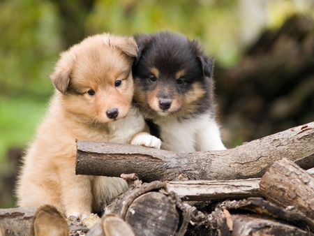 Cute sheltie puppies looking at camera sitting closely one to other. Stock Photo