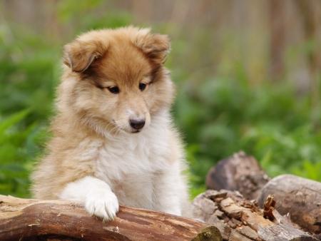 素敵なシェルティー子犬スマートな一見