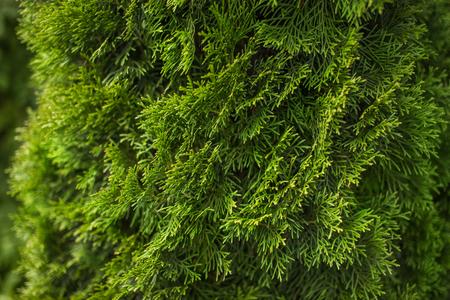自然の緑の針葉樹背景、明るい植物のテクスチャ。