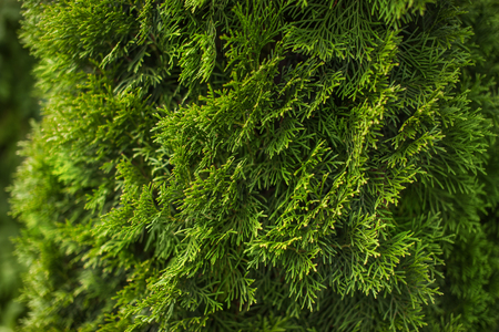 Natural green coniferous background, bright plant texture.