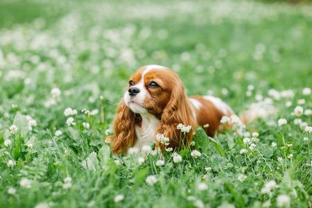 キャバリア ・ キング ・ チャールズ ・ スパニエル。小型犬の魅力的な犬は。優秀なフレンドリーなペットと仲間。