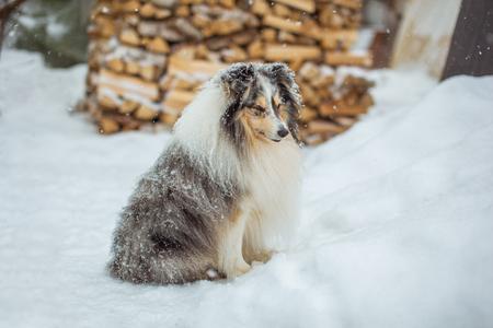 庭の白い雪の上に座っている愛らしい棚の犬 写真素材